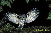 OW08-021p  Saw-whet owl - flying to catch prey mouse - Aegolius acadicus, digitally improved, subject unchanged