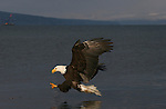 A Bald Eagle (Haliaeetus leucocephalus) prepares to grab a meal from the sea.  Kenai Peninsula, Alaska
