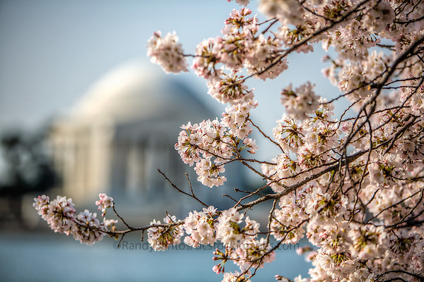 Cherry Blossoms Jefferson Memorial Tidal Basin Washington DC