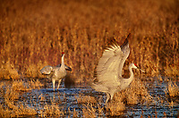 512666354 a wild sandhill crane grus canadensis flaps its wings while standing in a shallow pond at its overwintering home in bosque del apache national wildlife refuge new mexico