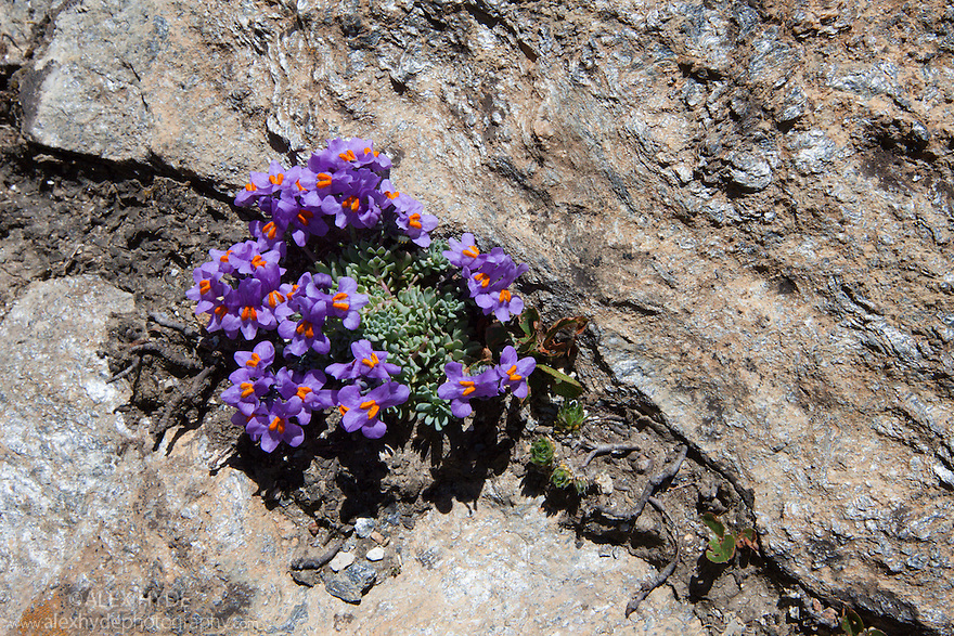 Alpine Toadflax {Linaria alpina subsp. alpina} growing in scree slope on mountainside. Aosta Valley, Monte Rosa Massif, Pennine Alps, Italy. July.