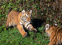 BNPS.co.uk (01202 558833)<br /> Pic: IanTurner/BNPS<br /> <br /> The endangered Amur tiger cubs - the world's largest big cats – have been seen by visitors for the first time at the Longleat Safari Park.<br /><br />And the precocious pair were soon frollicking in the autumn sunshine whilst playing in the fallen leaves, and pouncing on their long suffering mother Yana.<br /> <br /> The male called Rusty and a female called Yuki, are part of a European wide breeding programme for the endangered sub-species.<br /><br />Native to the far east of Russia, the Amur tiger is the largest of the big cats and can weigh up to 300 kg and measure more than three metres in length. <br /><br />In the 1930s the tigers had nearly died out due to hunting and logging. At one stage it is thought the population fell as low as just 20–30 animals. <br /> <br /> Although they are still under severe threat their status was officially changed from Critically Endangered to Endangered in 2007.
