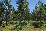 Pine mixed withi yerba mate plantation near San Ignacio, Misiones, Argentina.