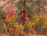 Zion National Park, UT<br /> Two ponderosa pine trunks among the fall colored maples and oaks above Pine Creek