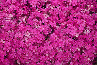 Pink Phlox sublanta in profusion of pink blossoms