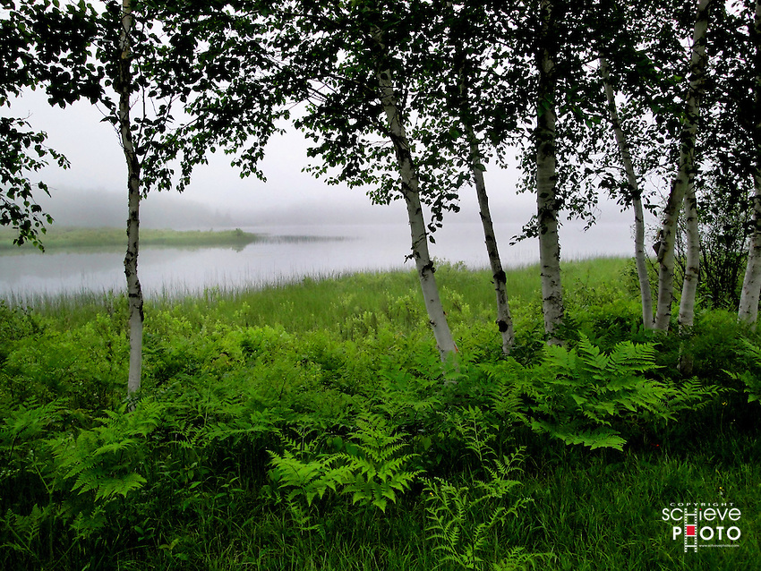Young birch trees along the shore of Spider Lake in northern Wisconsin on a foggy morning.