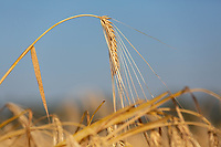 Winter Barley ready for harvest <br /> &copy;Tim Scrivener Photographer 07850 303986<br />      ....Covering Agriculture In The UK....