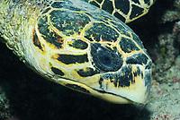 hawksbill sea turtle, Eretmochelys imbricata, off Marsa Alam coast, Egypt, Red Sea,