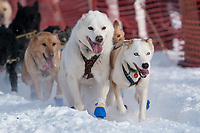 Heather Siirtola's lead dogs at the Restart of the 2009 Iditarod in Willow Alaska