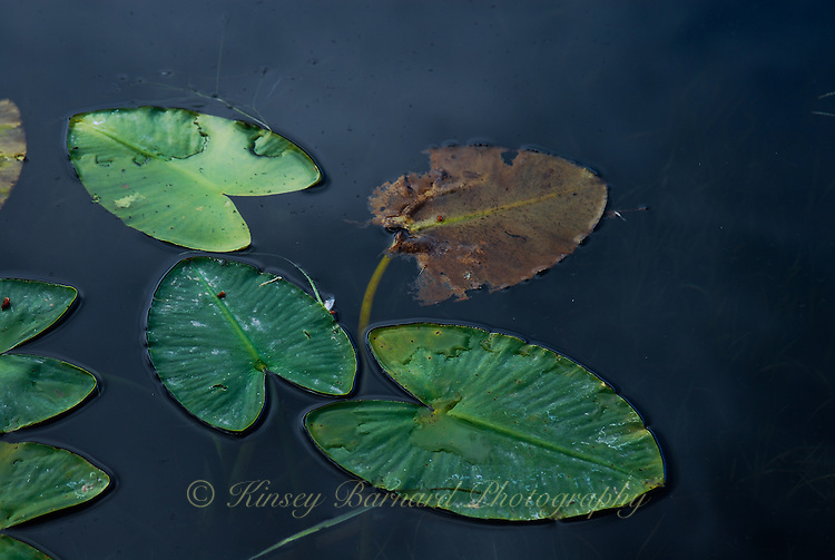 """""""STAGES OF LIFE""""<br /> <br /> Lily pads floating on blue water with clouds reflecting. Youth to decay."""