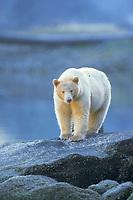 spirit bear, kermode, black bear, Ursus americanus, in the rainforest of the central British Columbia coast, Canada
