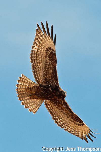 Immature Red-tailed Hawk, Bosque del Apache NWR