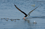Black Skimmer (Rynchops niger), adult in breeding plumage, skimming, Bolsa Chica Ecological Reserve, California, USA. The splashes are fish jumping through the water as the bird skims through a school of fish.