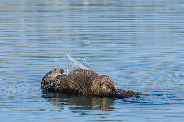Sea Otters (Enhydra lutris)--mother with nursing pup.