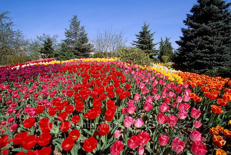 Tulips tulip spring flowers flower garden pictures images gunter red tulips tulip pink tulips orange tulips and yellow tulips in bloom mightylinksfo