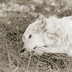 Photograph by Isa Leshko, Kiri, Great Plains Wolf, Age 17