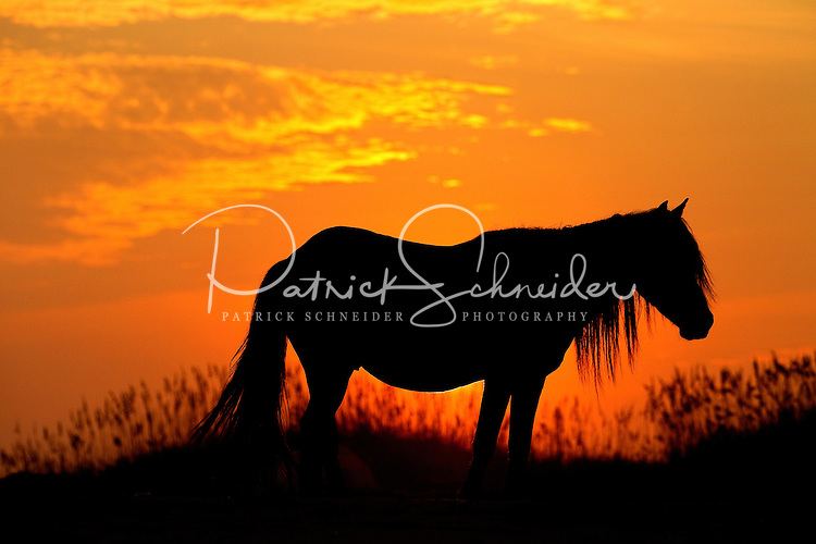 A wild pony in the North Carolina Outer Banks is silhouetted against the setting sun. Photo is part of a series of images taken at Pamlico Sea Base, a Boy Scouts of America High Adventure Camp located on the Pamlico River south of Washington, NC. The BSA Sea Base program is centered around sea kayaking treks on the North Carolina Outer Banks and sailing programs on the historic Pamlico River...Photography by: Patrick Schneider Photo.com