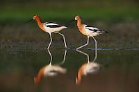 American Avocet (Recurvirostra americana), pair walking, Dinero, Lake Corpus Christi, South Texas, USA