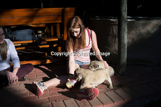 A volunteer feeds lion cubs at Boskoppie Lion and Tiger reserve on August 7 2015 in Kroonstad. South Africa. The farm has about 100 lions, some tigers and a few jaguars. South Africa has hundreds of breeding farms for lions and many of the animals are sold to hunting companies that use them for canned hunting. There are about 8000 lions in captivity and only around 2000 in the wild in South Africa. (Photo by: Per-Anders Pettersson)