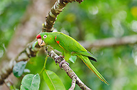 Crimson-fronted Parakeet also called Finsch's Parakeet or Finsch's Conure (Aratinga finschi).  Found in Central America.  This one photographed in Costa Rica.