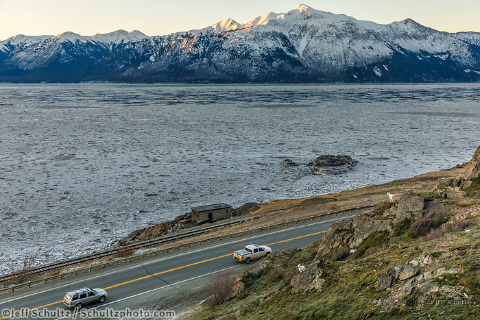 Dall Sheep ewes &amp; lambs feed on grass at Windy Corner area south of Anchorage, Alaska in winter as a vehicle/car drives along the Seward highway,  Turnagain Arm ice floes and Kenai Mountains in the background.  Southcentral, Alaska   Chugach Mountains in Chugach State Park<br /> <br /> Photo by Jeff Schultz/SchultzPhoto.com  (C) 2018  ALL RIGHTS RESERVED