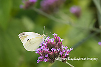 03061-00317 Cabbage White (Pieris rapae) on Brazilian Verbena ( Verbena bonariensis) Marion Co. IL