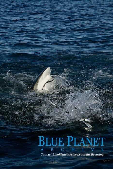 bronze whaler, or copper shark, Carcharhinus brachyurus, gets a mouthful as it lunges through baitball of sardines, Sardinops sagax, Transkei, South Africa (Indian Ocean) (do)