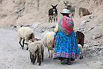 Amérique du Sud, Pérou, région d'Arequipa, canyon de la Colca, troupeau de moutons//South America, Peru, Arequipa area, Colca canyon, sheep flock