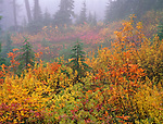 Mount Baker-Snoqualmie National Forest, WA <br /> Fog enshrouds the autumn colors of the willows, huckleberries and shrubs of the forest understory at Heather Meadows