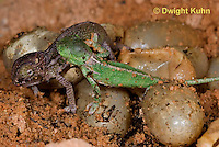 CH43-565z  Veiled Chameleon young hatching from eggs, Chamaeleo calyptratus