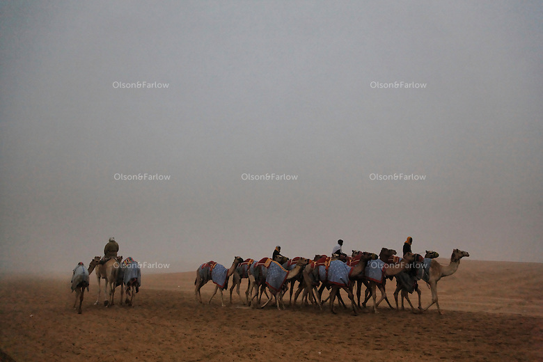 Camels walk to the race track on a foggy morning outside the beauty contest held on the same grounds.  These camels are built for speed and racing, a popular sport in the Emirates.
