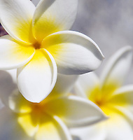 Spain, La Palma Island, Plumeria, common name Frangipani, petals