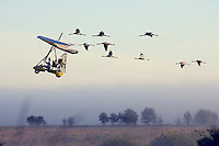 Whooping Cranes following Ultrlight