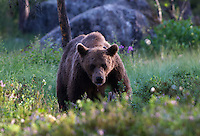 Wary male brown bear (ursus arctos) in the wild forests near Edsbyn in Halsingland, Sweden.<br /> July 2008.
