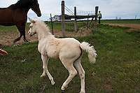 Young orphaned foals, Buttercup and Angel, are cared for by Karen Sussman is with International Society for the Protection of Mustangs and Burros.  They follow her on a walk in North Dakota.
