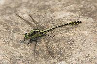 Black-shouldered Spinyleg (Dromogomphus spinosus) - Juvenile male, Conant Brook Dam, Monson, Hampden County, Massachusetts