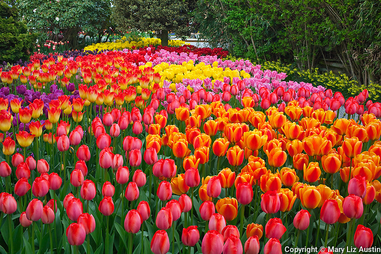Skagit County, WA               <br /> A colorful mix of spring tulips in RoozenGaarde garden including varieties of the Darwin Hybrid 'Gordon Cooper', 'Elite' and 'Apertife'.<br />  &quot;Courtesy of the Washington Bulb Co. Inc.&quot;