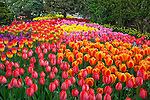 "Skagit County, WA               <br /> A colorful mix of spring tulips in RoozenGaarde garden including varieties of the Darwin Hybrid 'Gordon Cooper', 'Elite' and 'Apertife'.<br />  ""Courtesy of the Washington Bulb Co. Inc."""