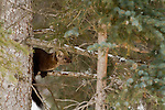 A Pine Marten clings to a tree branch in Jasper National Park, Alberta Canada.