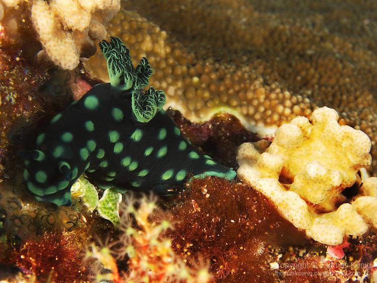 Dragon Gate Rock Reef (Long Men Yan Jiao), Green Island -- Crested Nembrotha (Nembrotha cristata), a dorid nudibranch.