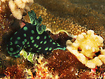 Dragon Gate Rock Reef (Long Men Yan Jiao), Green Island -- Crested Nembrotha (Nembrotha cristata), a dorid nudibranch.