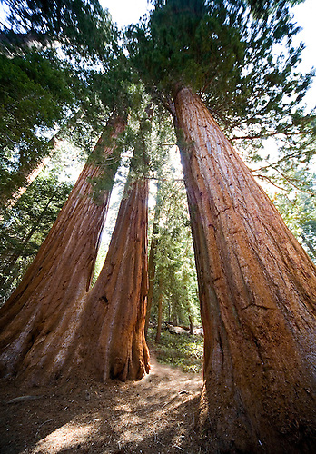 A TRIO OF SEQUOIA TREES STAND TALL IN SEQUOIA NATIONAL PARK, CALIFORNIA
