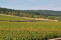 "Vineyard. Chevalier Montrachet in the back. ""Le Montrachet"" Grand Cru, Puligny Montrachet, Cote de Beaune, d'Or, Burgundy, France"