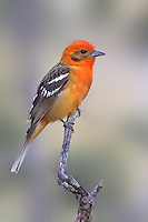 Flame-colored Tanager - Piranga bidentata - male