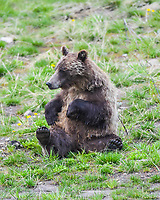 A young grizzly bear sow poses like a teddy bear on Togwotee Pass, Wyoming.