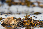 Sea Otter (Enhydra lutris) wrapped in kelp to keep itself from floating away, Santa Cruz, Monterey Bay, California