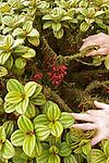Sur les pentes ouest de la Montagne Pelée (1395 m).Fuchsia Montagne (Charianthus nodosus),