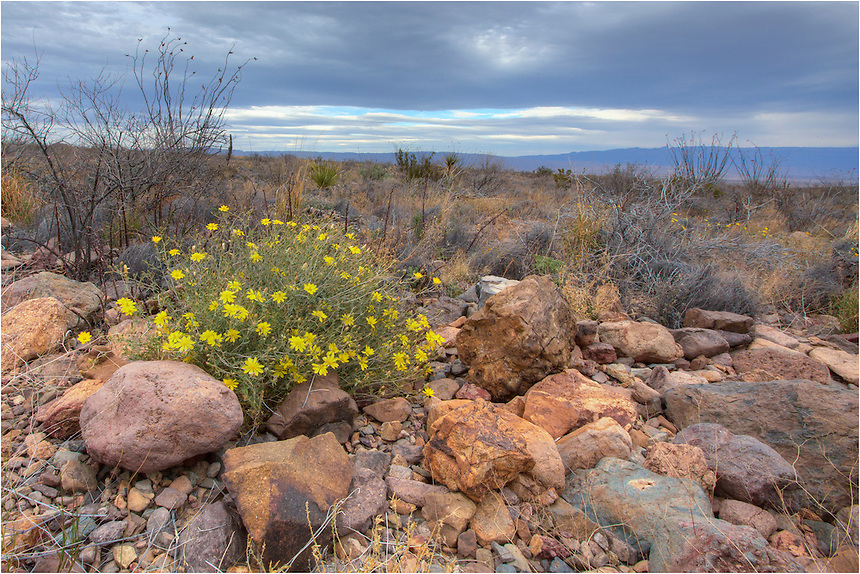 Golden blooms of Texas wildflowers arrive each spring in Big Bend National Park, creating beautiful Texas landscapes.