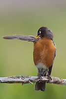 American Robin, Turdus migratorius,male preening,Rocky Mountain National Park, Colorado, USA, June 2007