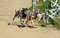 1. Sächsisches Mopsrennen auf der Windhunderennbahn in Eilenburg - echte Windhunde zeigen wie es geht. Foto: Norman Rembarz